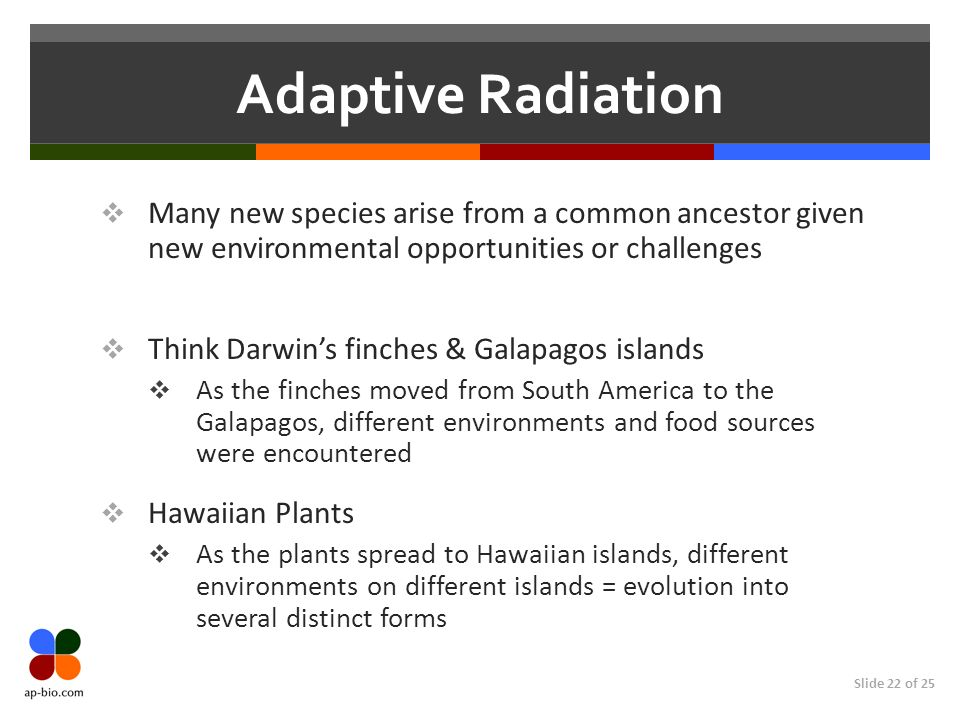 Slide 22 of 25 Adaptive Radiation Many new species arise from a common ancestor given new environmental opportunities or challenges Think Darwins finches & Galapagos islands As the finches moved from South America to the Galapagos, different environments and food sources were encountered Hawaiian Plants As the plants spread to Hawaiian islands, different environments on different islands = evolution into several distinct forms