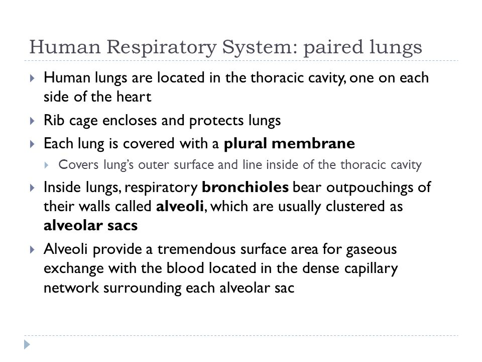 Human Respiratory System: paired lungs Human lungs are located in the thoracic cavity, one on each side of the heart Rib cage encloses and protects lu