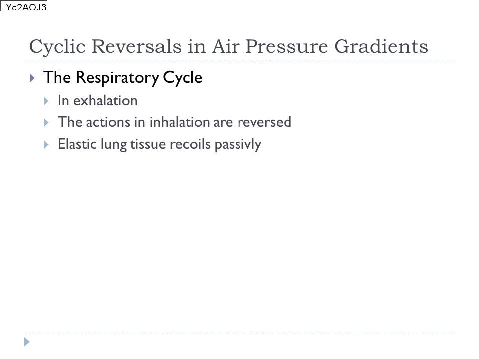 Cyclic Reversals in Air Pressure Gradients The Respiratory Cycle In exhalation The actions in inhalation are reversed Elastic lung tissue recoils pass