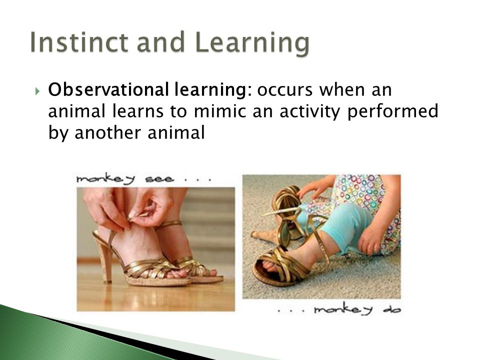 Observational learning: occurs when an animal learns to mimic an activity performed by another animal
