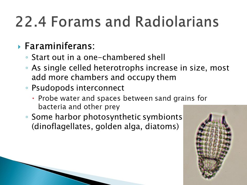 Faraminiferans: Start out in a one-chambered shell As single celled heterotrophs increase in size, most add more chambers and occupy them Psudopods in
