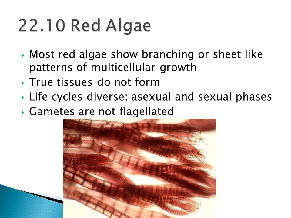 Most red algae show branching or sheet like patterns of multicellular growth True tissues do not form Life cycles diverse: asexual and sexual phases G