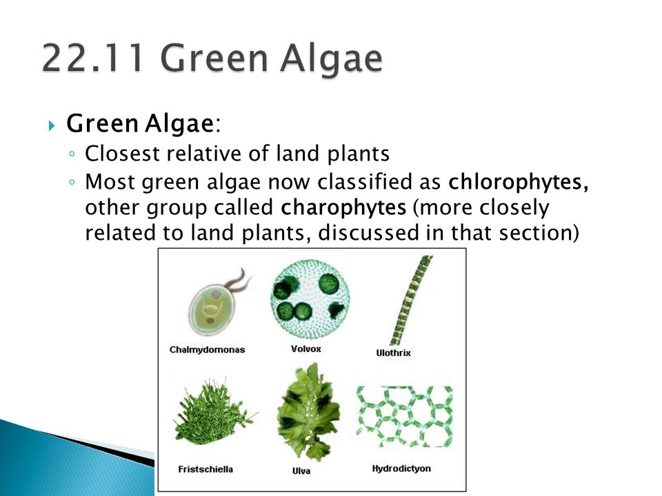 Green Algae: Closest relative of land plants Most green algae now classified as chlorophytes, other group called charophytes (more closely related to