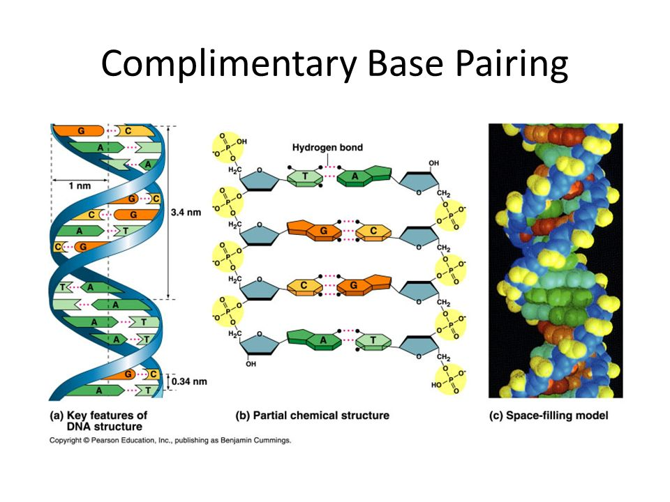 Complimentary Base Pairing