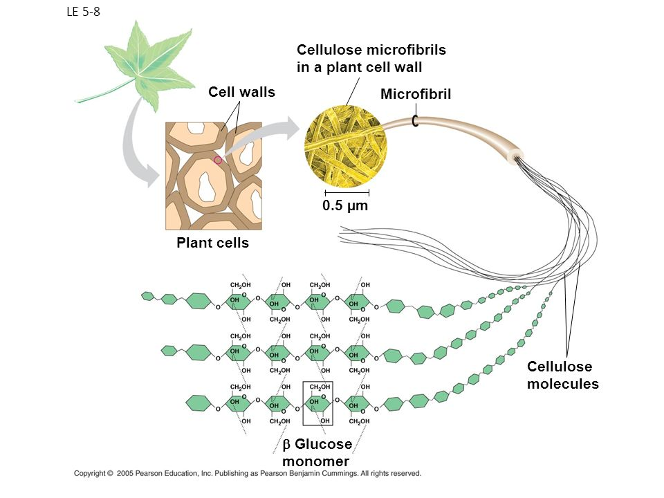 LE 5-8 Cellulose molecules Cellulose microfibrils in a plant cell wall Cell walls Microfibril Plant cells 0.5 µm Glucose monomer