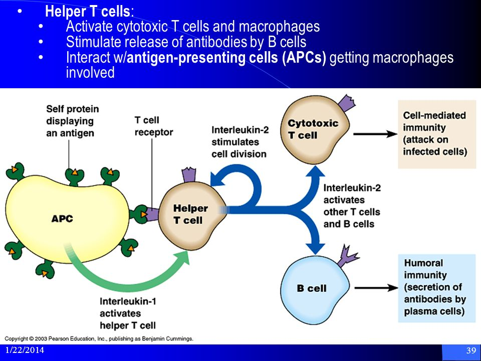 1/22/2014 39 Helper T cells : Activate cytotoxic T cells and macrophages Stimulate release of antibodies by B cells Interact w/ antigen-presenting cel