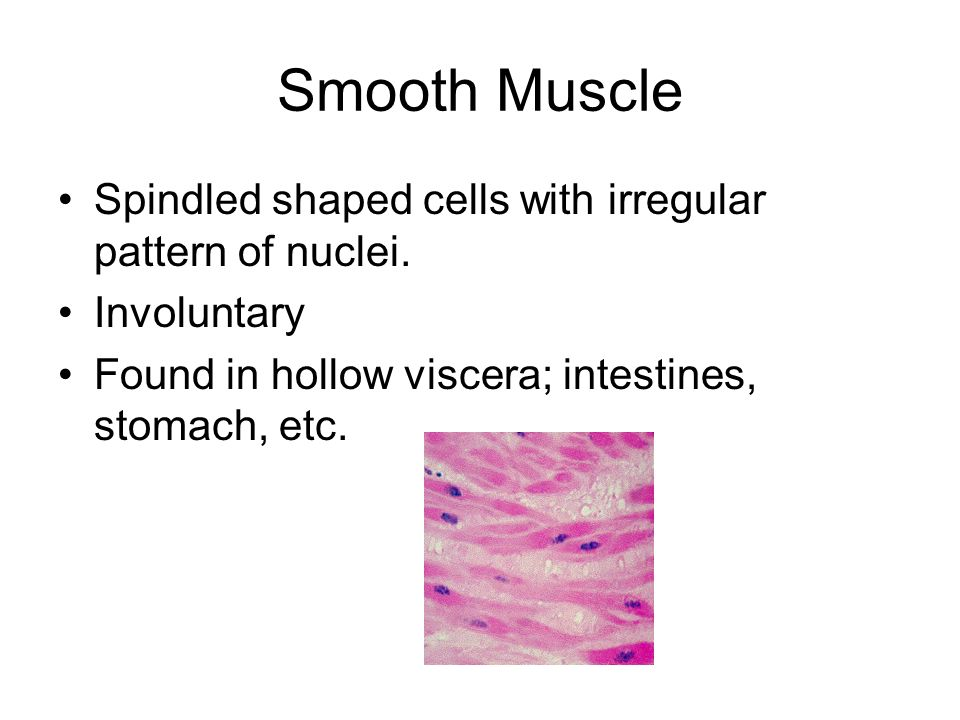 Smooth Muscle Spindled shaped cells with irregular pattern of nuclei. Involuntary Found in hollow viscera; intestines, stomach, etc.