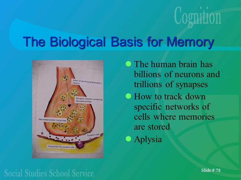 Slide # 78 The Biological Basis for Memory The human brain has billions of neurons and trillions of synapses How to track down specific networks of ce