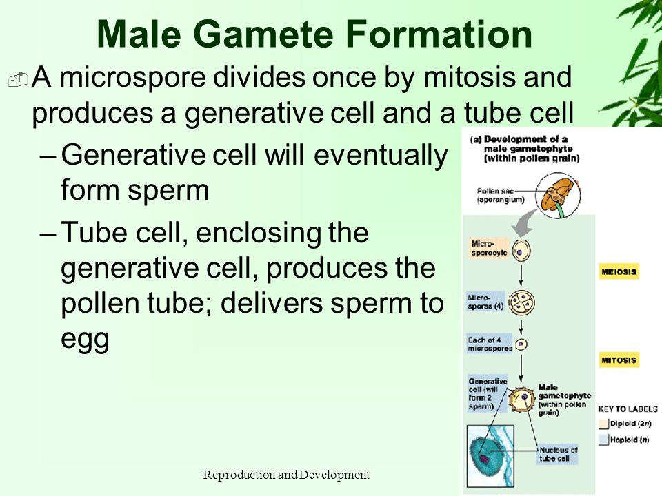 Reproduction and Development Male Gamete Formation A microspore divides once by mitosis and produces a generative cell and a tube cell –Generative cel