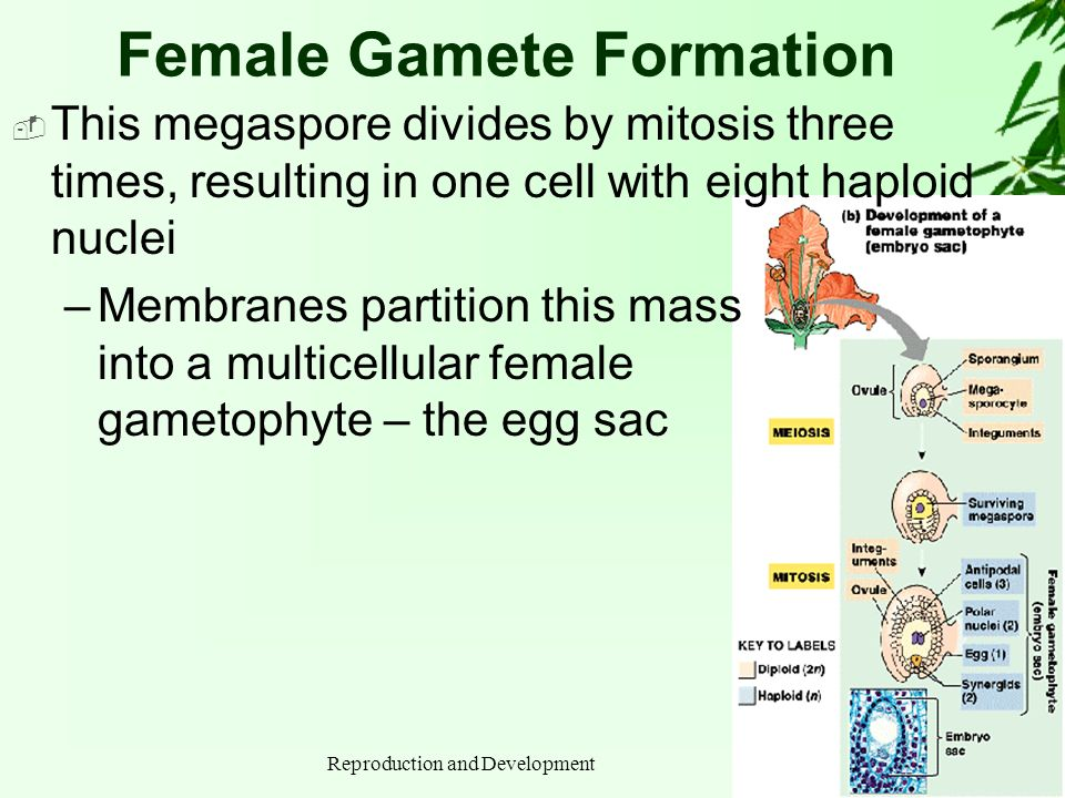 Reproduction and Development Female Gamete Formation This megaspore divides by mitosis three times, resulting in one cell with eight haploid nuclei –M