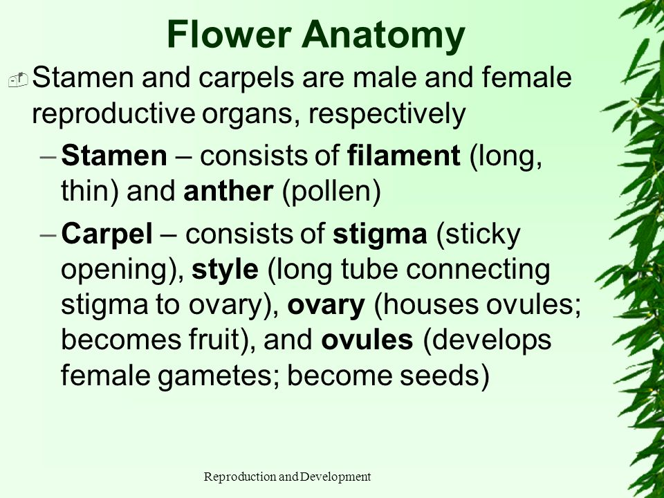 Reproduction and Development Flower Anatomy Stamen and carpels are male and female reproductive organs, respectively –Stamen – consists of filament (l