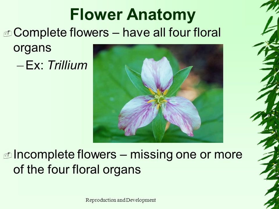 Reproduction and Development Flower Anatomy Bisexual flower (perfect flower) is equipped with both stamens and carpals –All complete and many incomplete flowers are bisexual A unisexual flower is missing either stamens (carpellate flower) or carpels (staminate flower)