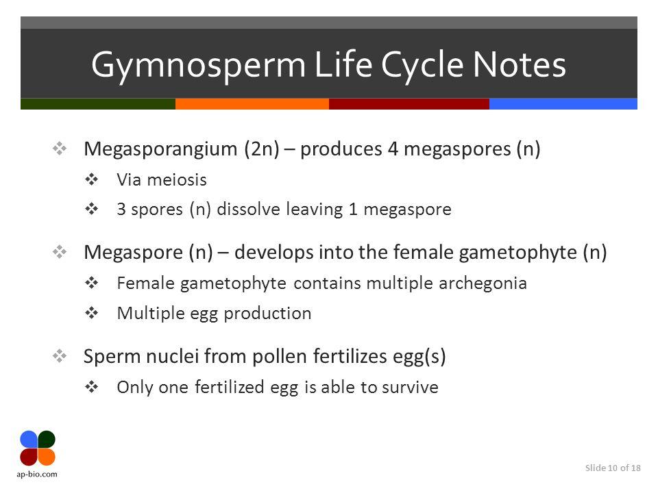 Slide 10 of 18 Gymnosperm Life Cycle Notes Megasporangium (2n) – produces 4 megaspores (n) Via meiosis 3 spores (n) dissolve leaving 1 megaspore Megas