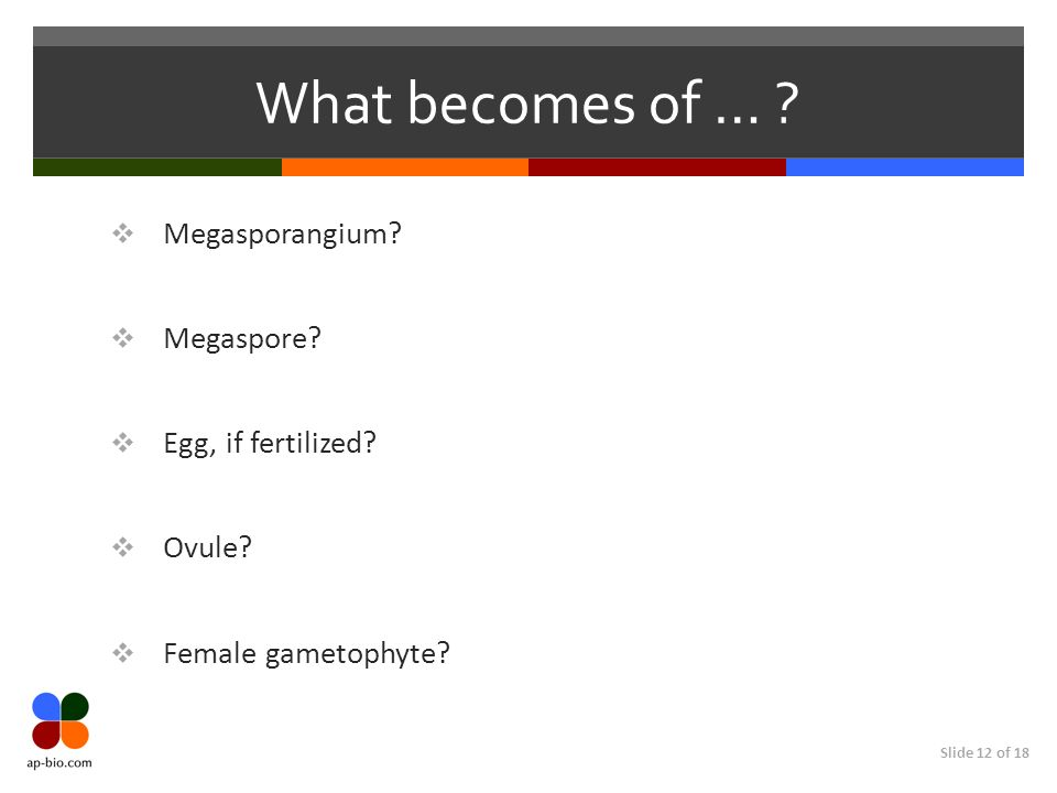 Slide 12 of 18 What becomes of … ? Megasporangium? Megaspore? Egg, if fertilized? Ovule? Female gametophyte?