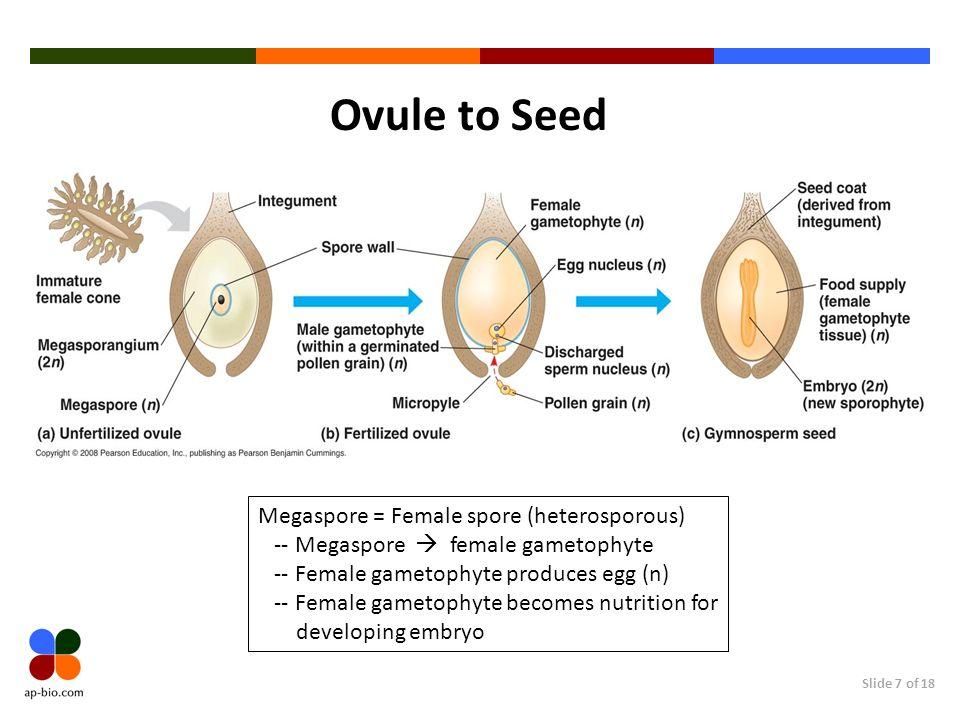 Slide 7 of 18 Ovule to Seed Megaspore = Female spore (heterosporous) -- Megaspore female gametophyte -- Female gametophyte produces egg (n) -- Female