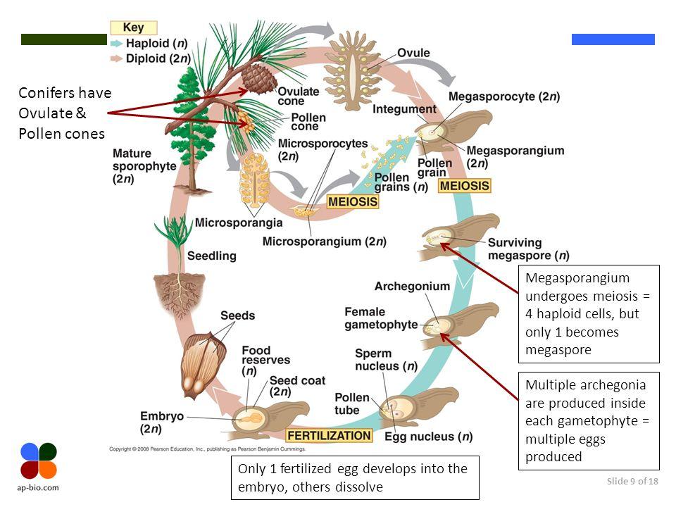 Slide 9 of 18 Conifers have Ovulate & Pollen cones Megasporangium undergoes meiosis = 4 haploid cells, but only 1 becomes megaspore Multiple archegoni