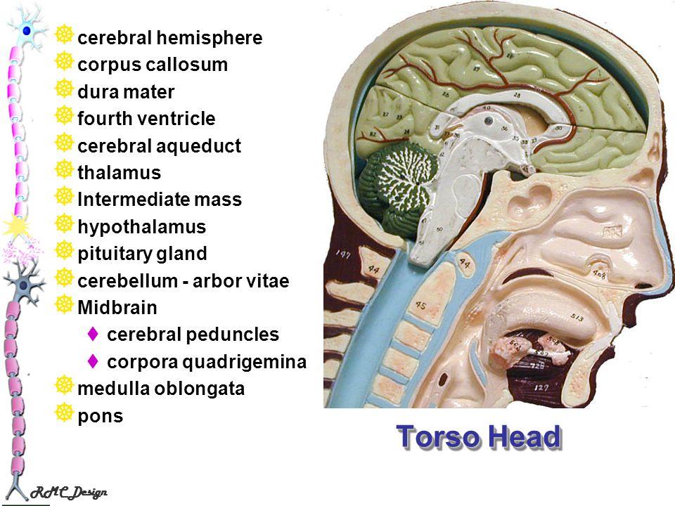 RMC Design Torso Head cerebral hemisphere corpus callosum dura mater fourth ventricle cerebral aqueduct thalamus Intermediate mass hypothalamus pituit