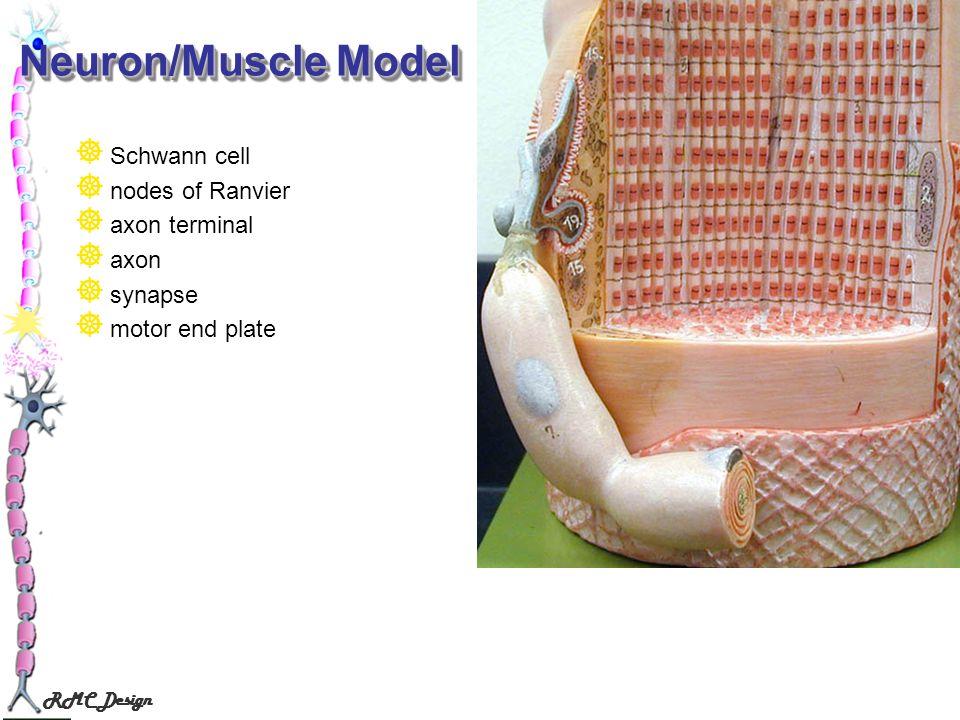 RMC Design Neuron/Muscle Model Schwann cell nodes of Ranvier axon terminal axon synapse motor end plate