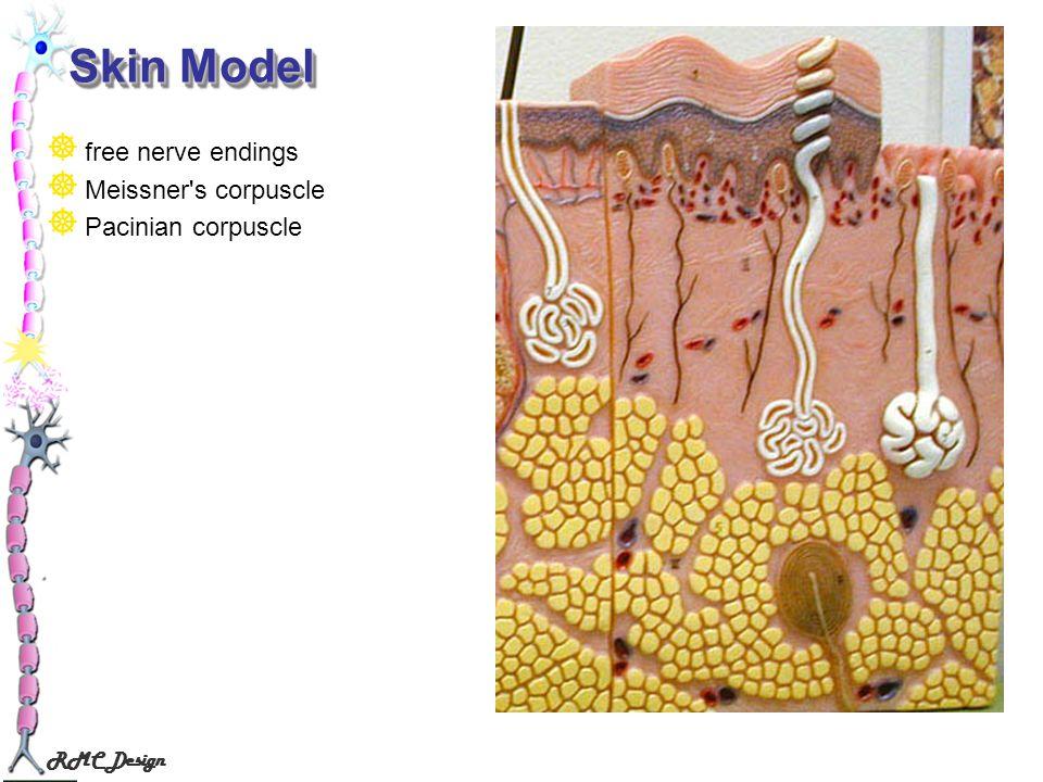 RMC Design Skin Model free nerve endings Meissner's corpuscle Pacinian corpuscle