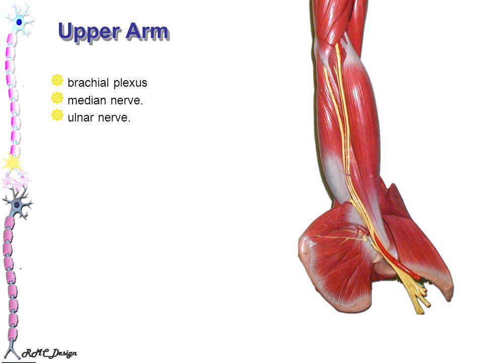 RMC Design Upper Arm brachial plexus median nerve. ulnar nerve.