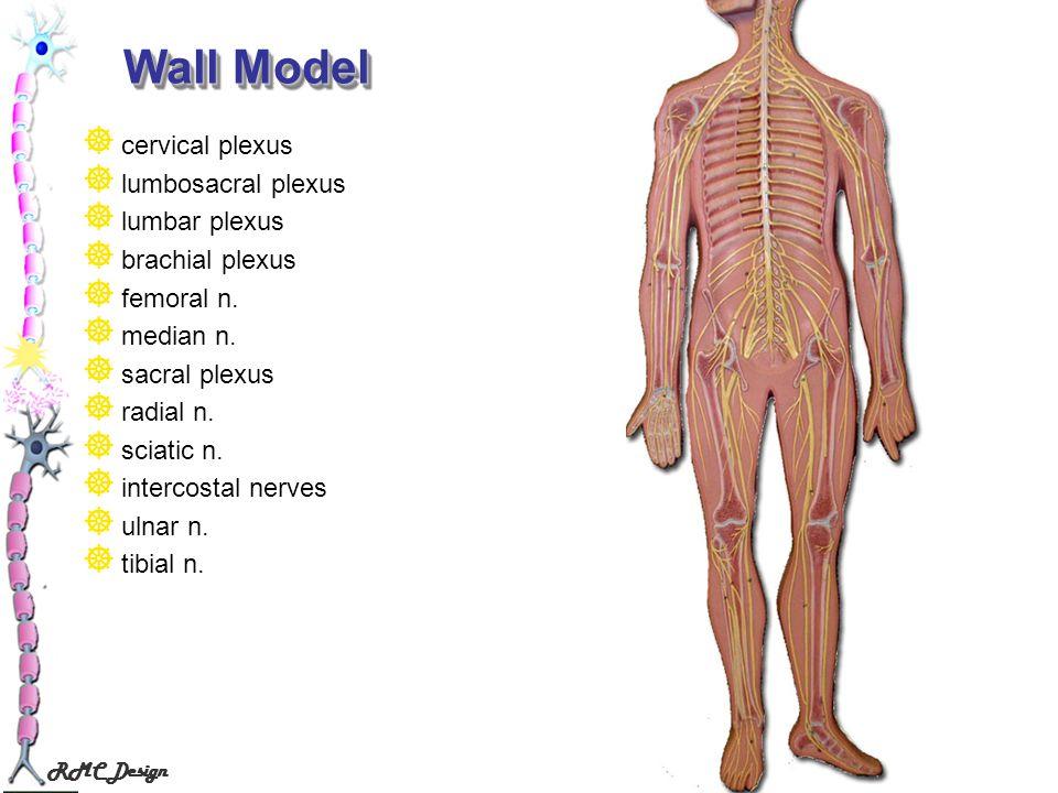 RMC Design Wall Model cervical plexus lumbosacral plexus lumbar plexus brachial plexus femoral n. median n. sacral plexus radial n. sciatic n. interco