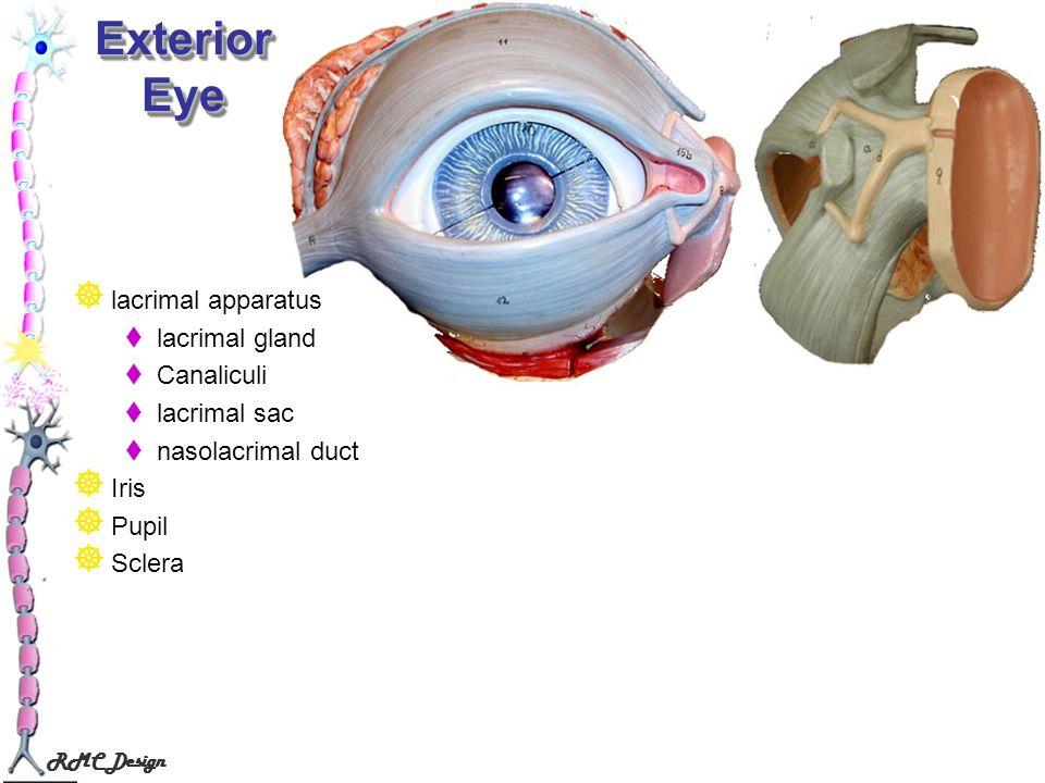 RMC Design Exterior Eye lacrimal apparatus lacrimal gland Canaliculi lacrimal sac nasolacrimal duct Iris Pupil Sclera