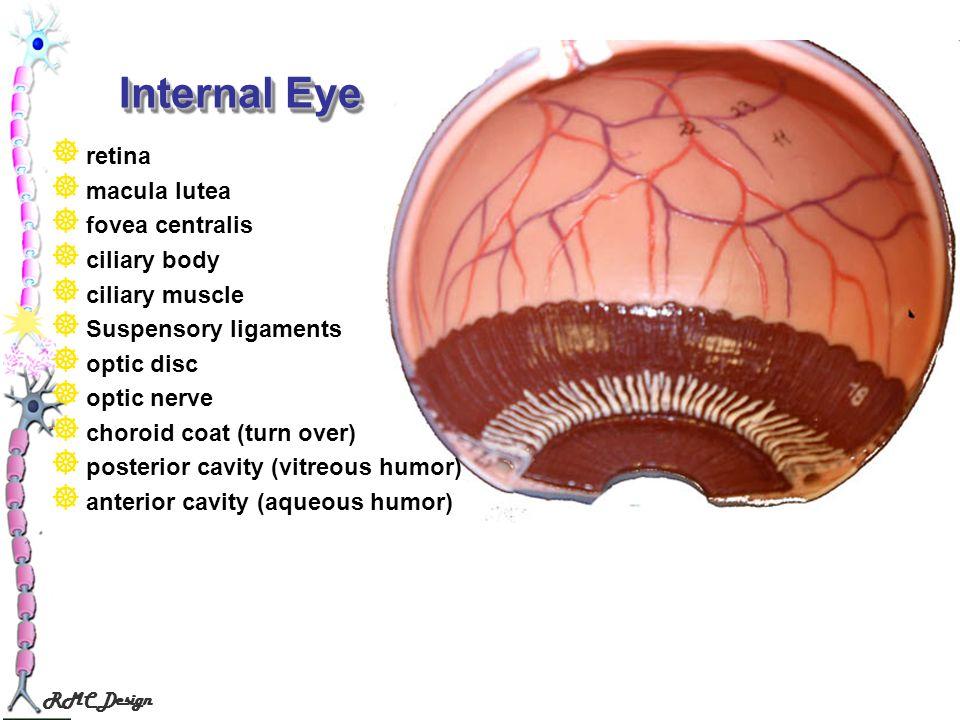 RMC Design Internal Eye retina macula lutea fovea centralis ciliary body ciliary muscle Suspensory ligaments optic disc optic nerve choroid coat (turn
