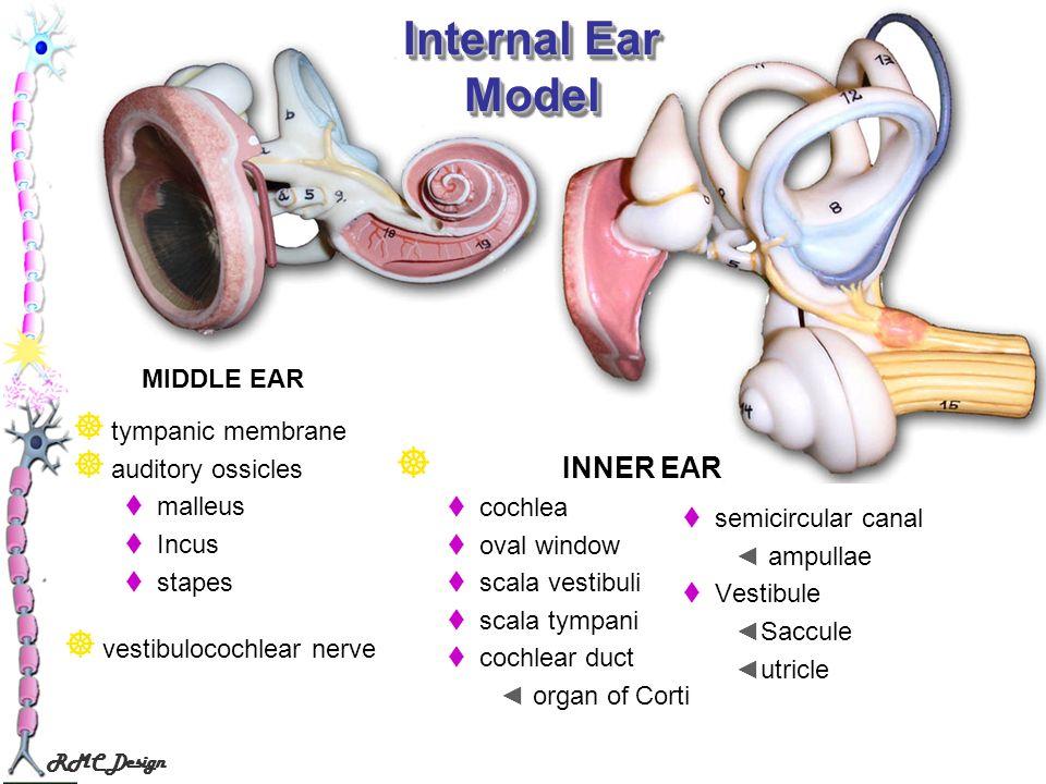 RMC Design Internal Ear Model semicircular canal ampullae Vestibule Saccule utricle INNER EAR cochlea oval window scala vestibuli scala tympani cochle