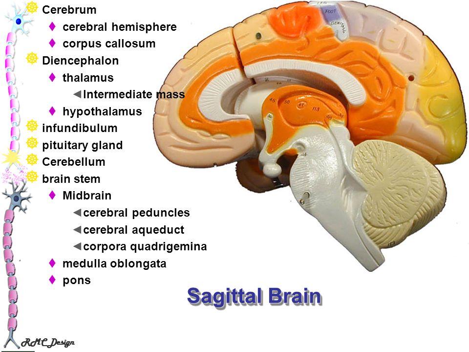 RMC Design Sagittal Brain Cerebrum cerebral hemisphere corpus callosum Diencephalon thalamus Intermediate mass hypothalamus infundibulum pituitary gla