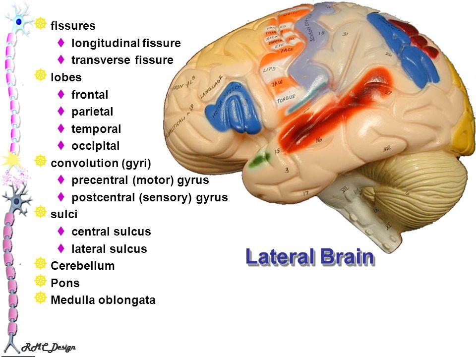 RMC Design Lateral Brain fissures longitudinal fissure transverse fissure lobes frontal parietal temporal occipital convolution (gyri) precentral (mot