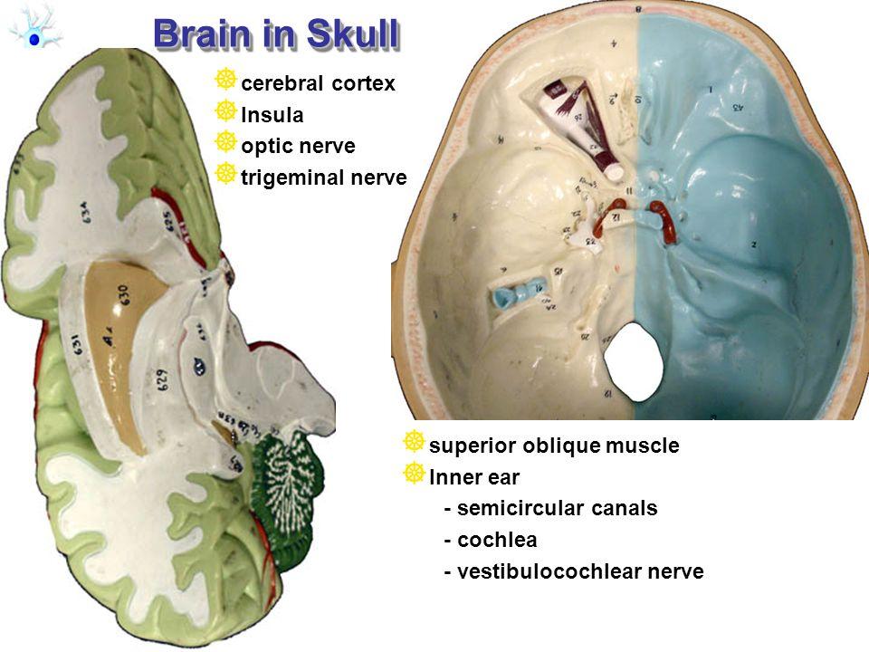 RMC Design Brain in Skull cerebral cortex Insula optic nerve trigeminal nerve superior oblique muscle Inner ear - semicircular canals - cochlea - vest