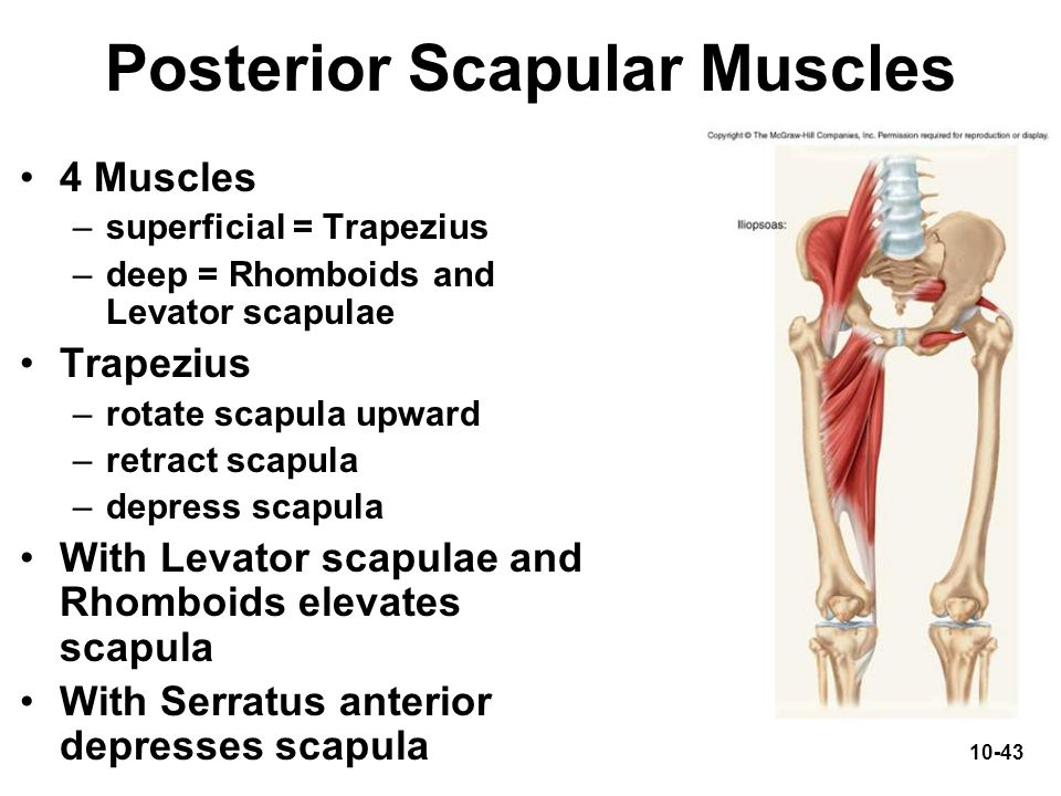 10-43 Posterior Scapular Muscles 4 Muscles –superficial = Trapezius –deep = Rhomboids and Levator scapulae Trapezius –rotate scapula upward –retract s