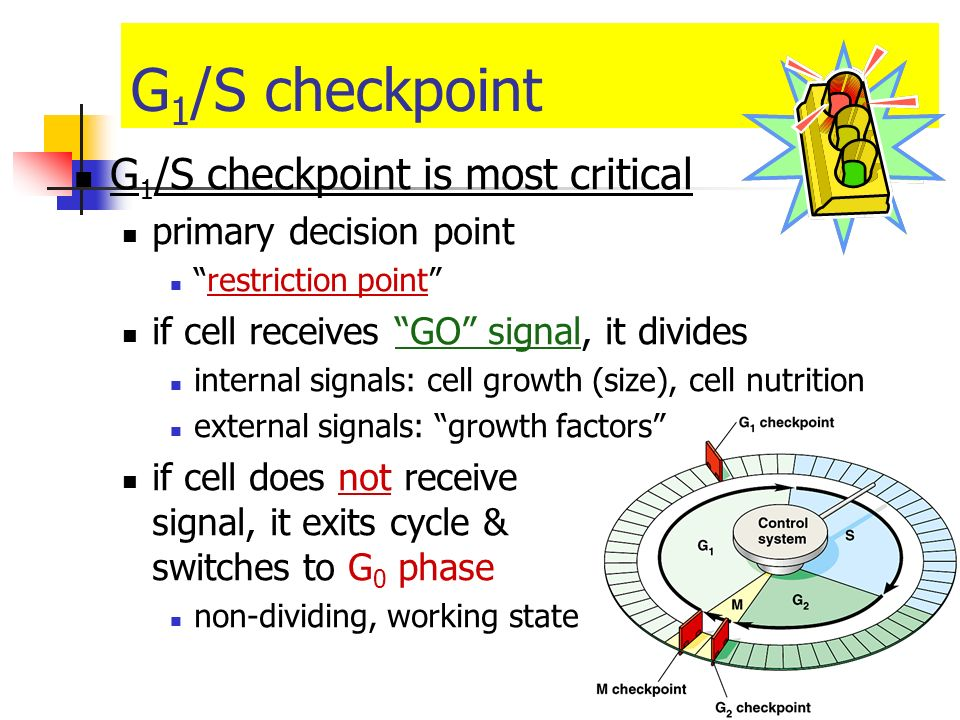 Checkpoint control system 3 major checkpoints: G 1 /S can DNA synthesis begin? G 2 /M has DNA synthesis been completed correctly? commitment to mitosi