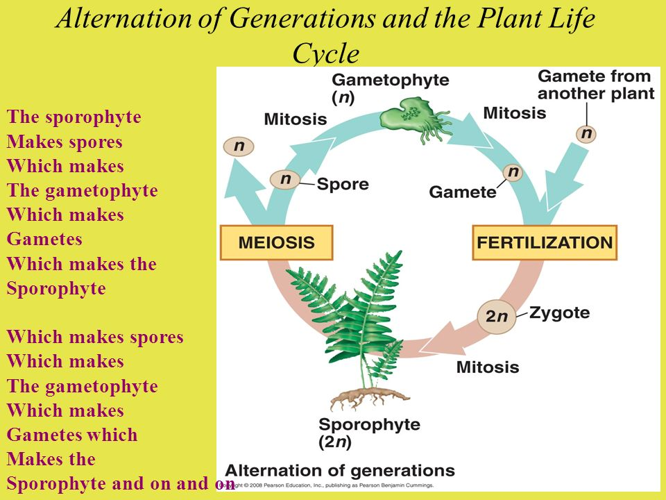 Alternation of Generations and the Plant Life Cycle The sporophyte Makes spores Which makes The gametophyte Which makes Gametes Which makes the Sporop