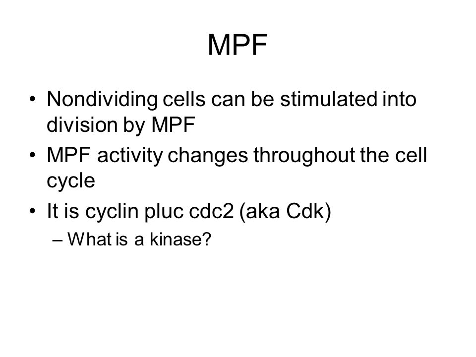 MPF Nondividing cells can be stimulated into division by MPF MPF activity changes throughout the cell cycle It is cyclin pluc cdc2 (aka Cdk) –What is
