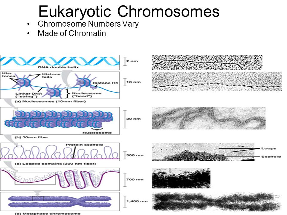 Eukaryotic Chromosomes Chromosome Numbers Vary Made of Chromatin
