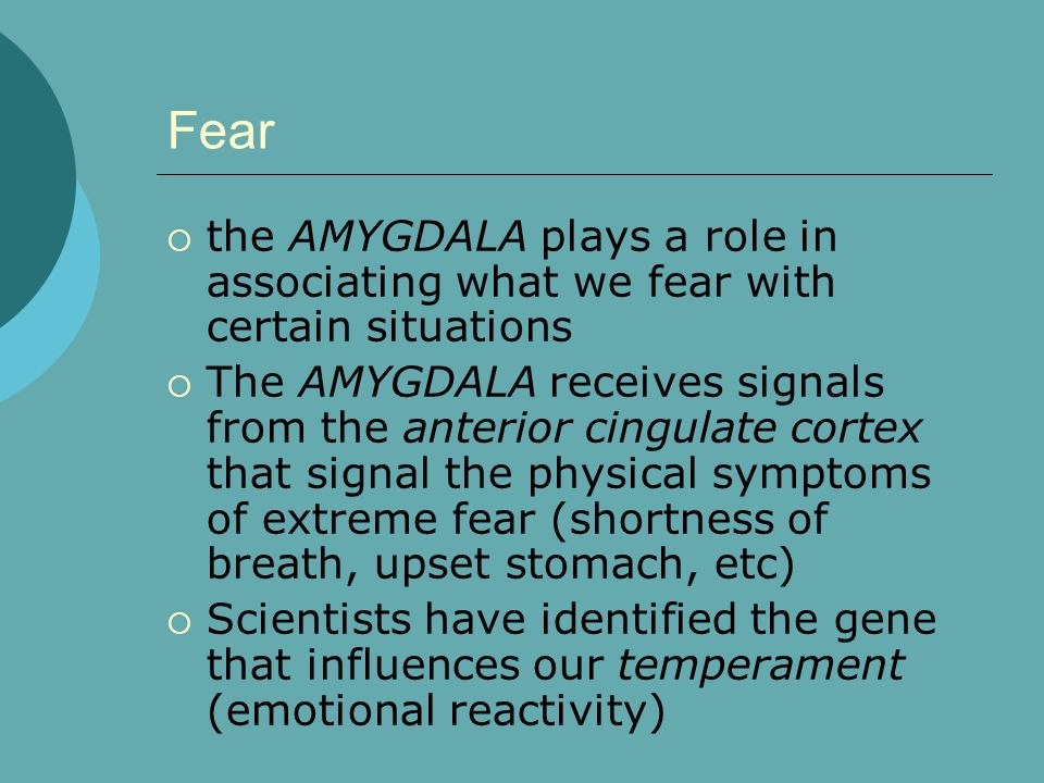the AMYGDALA plays a role in associating what we fear with certain situations The AMYGDALA receives signals from the anterior cingulate cortex that si