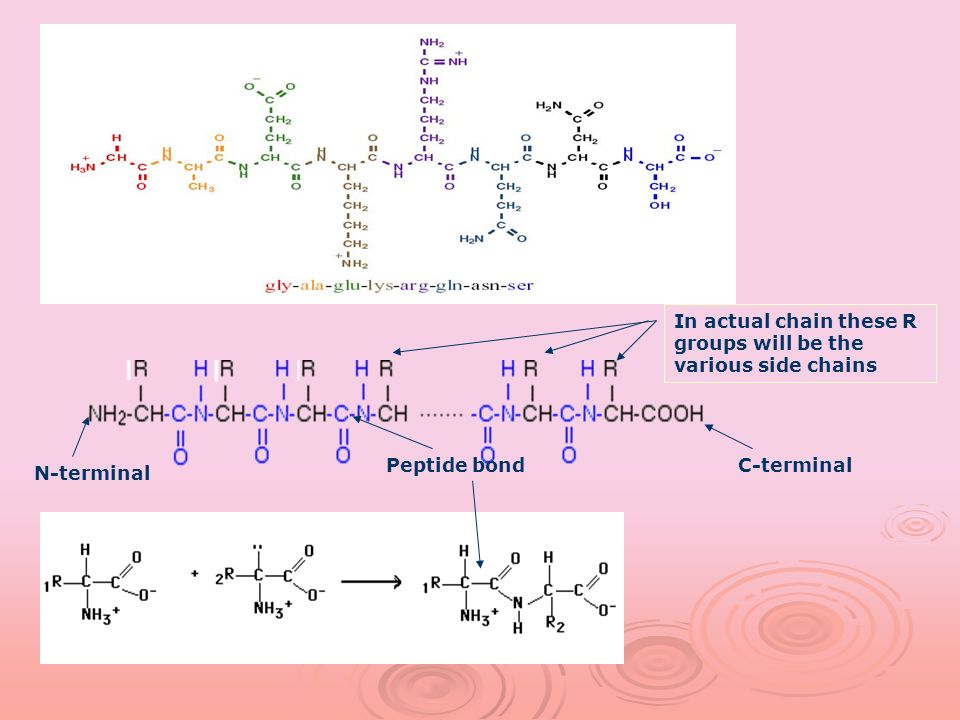 N-terminal C-terminal In actual chain these R groups will be the various side chains Peptide bond