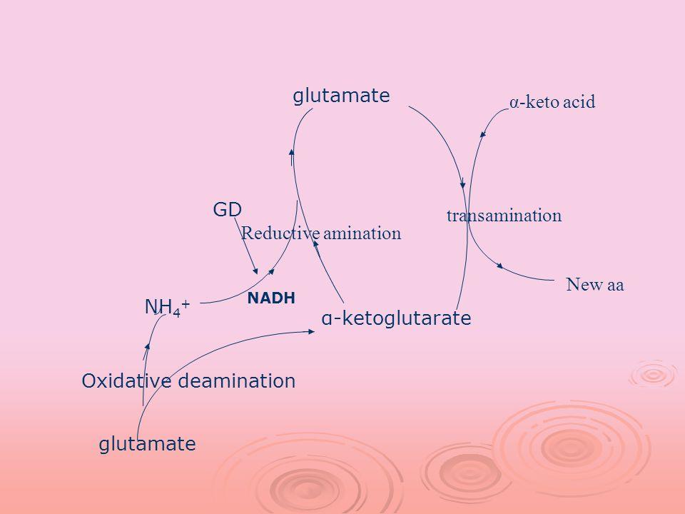 glutamate α-ketoglutarate NH 4 + GD NADH glutamate Oxidative deamination Reductive amination α-keto acid transamination New aa