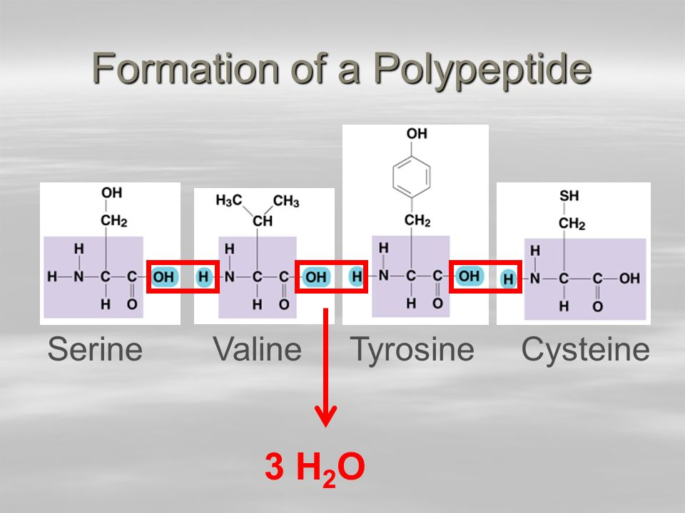 Formation of a Polypeptide SerineValineTyrosineCysteine 3 H 2 O
