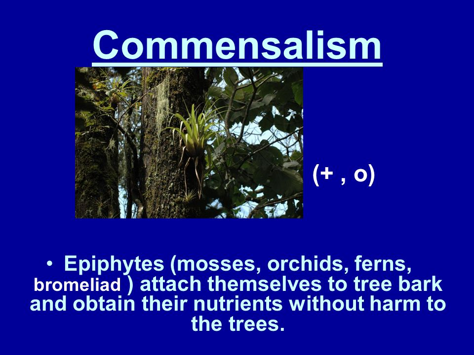 Commensalism (+, o) In this relationship, one organism benefits and the other is not affected. Ex: barnacles on a whale