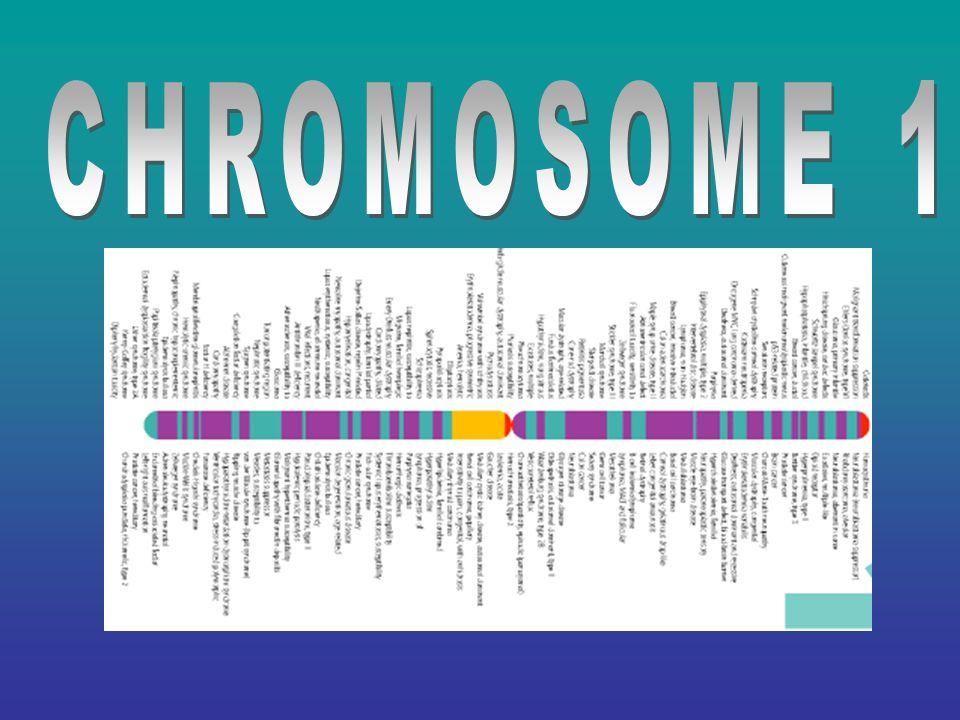 Genes on Chromosome 1 Breast cancer; 1p36Breast cancer; 1p36 Autosomal DeafnessAutosomal Deafness Susceptibility to Acute Leukemia; 1q21Susceptibility to Acute Leukemia; 1q21 Cataracts; 1p36.13Cataracts; 1p36.13 Alzheimer s; 1q21 & 1q25Alzheimer s; 1q21 & 1q25 Parkinson Disease; 1p36Parkinson Disease; 1p36 Epilepsy; 1q21Epilepsy; 1q21