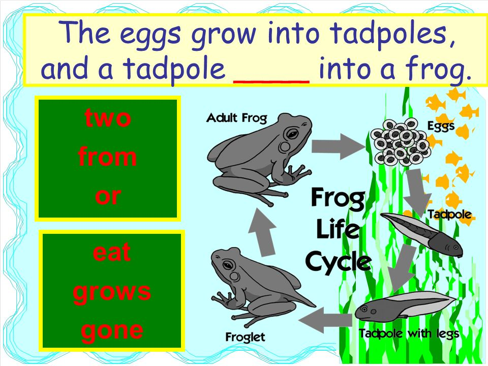 The eggs grow into tadpoles, and a tadpole ____ into a frog. two from or eat grows gone
