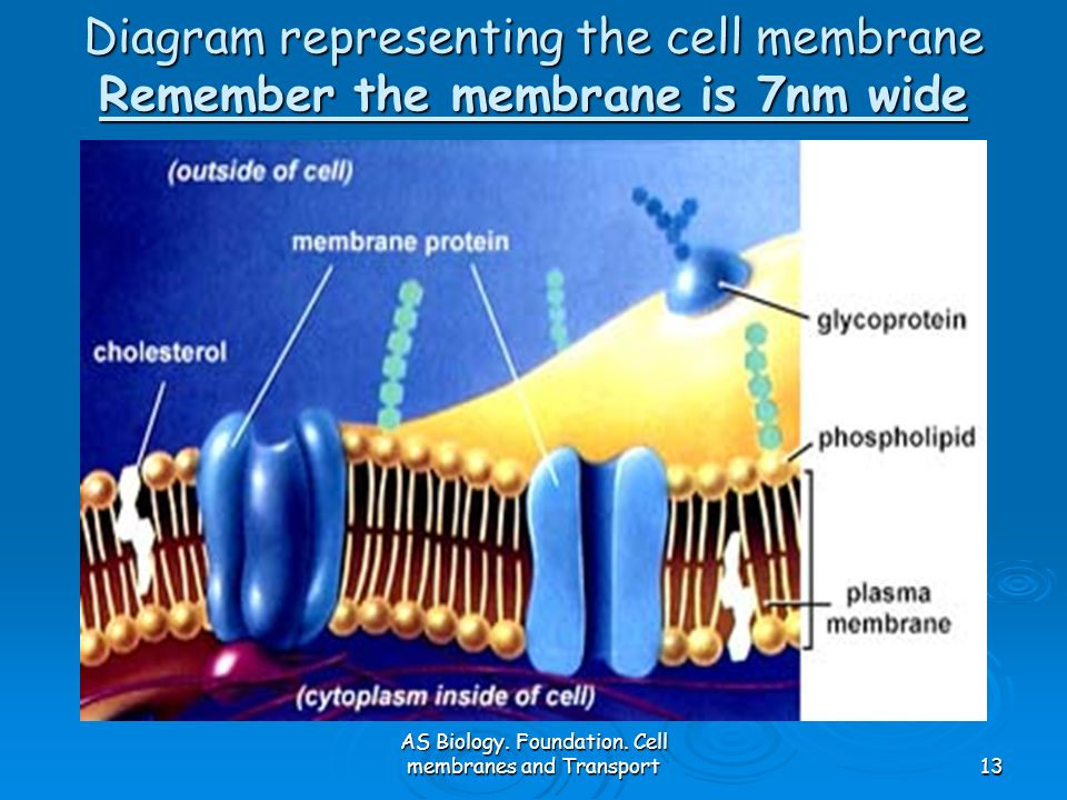 AS Biology. Foundation. Cell membranes and Transport13 Diagram representing the cell membrane Remember the membrane is 7nm wide