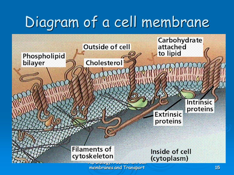 AS Biology. Foundation. Cell membranes and Transport15 Diagram of a cell membrane