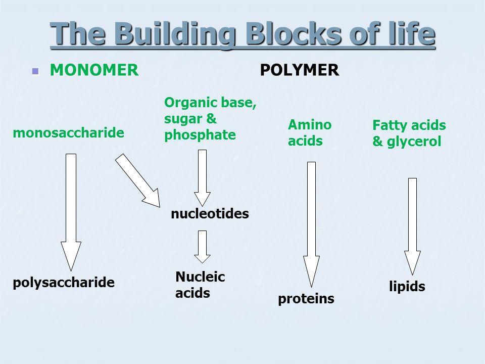The Building Blocks of life MONOMER POLYMER MONOMER POLYMER monosaccharide Organic base, sugar & phosphate Amino acids Fatty acids & glycerol polysacc