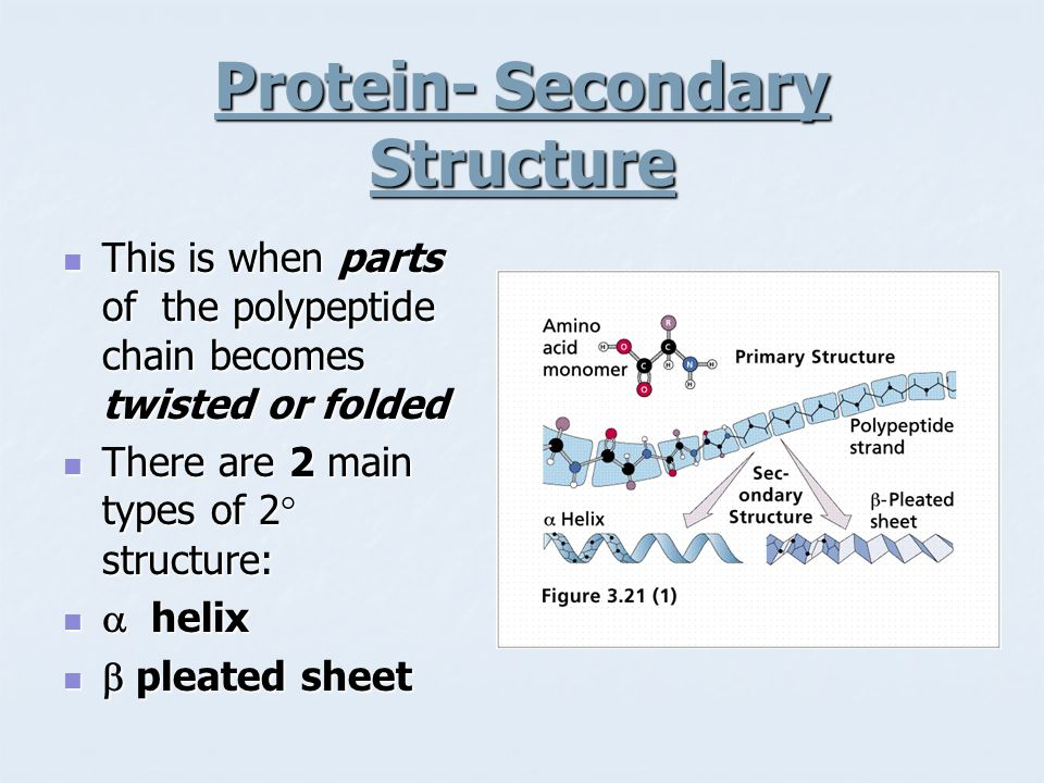 Protein- Secondary Structure This is when parts of the polypeptide chain becomes twisted or folded This is when parts of the polypeptide chain becomes