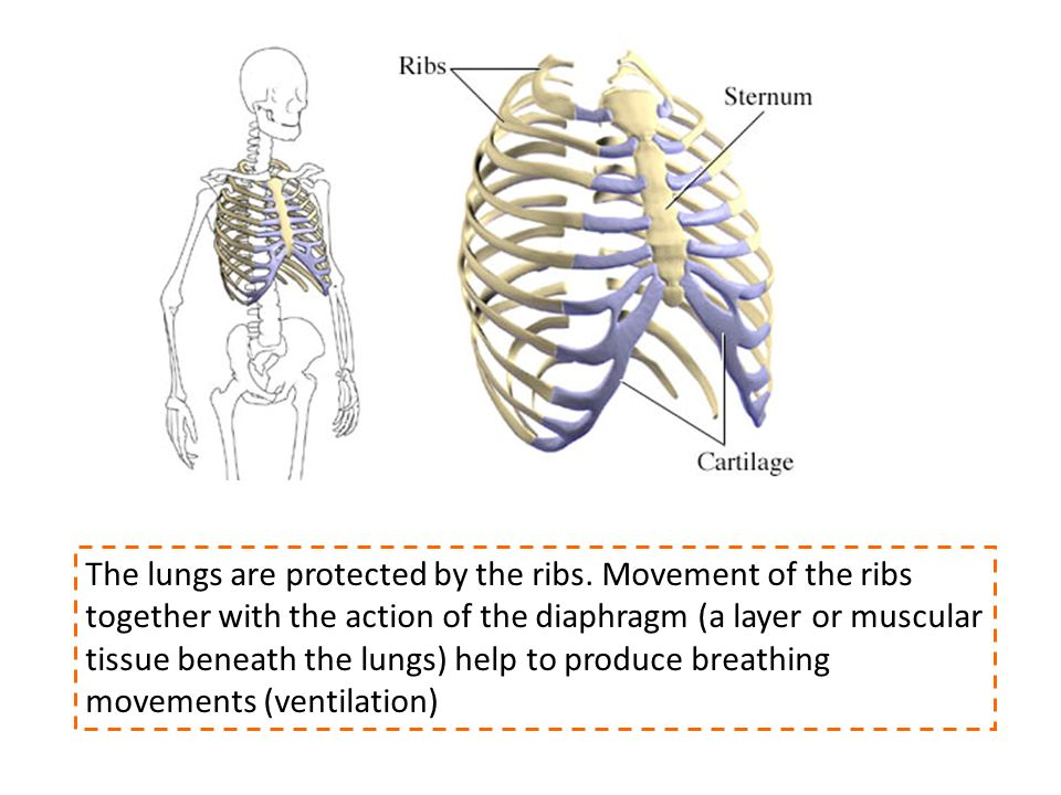The lungs are protected by the ribs. Movement of the ribs together with the action of the diaphragm (a layer or muscular tissue beneath the lungs) hel