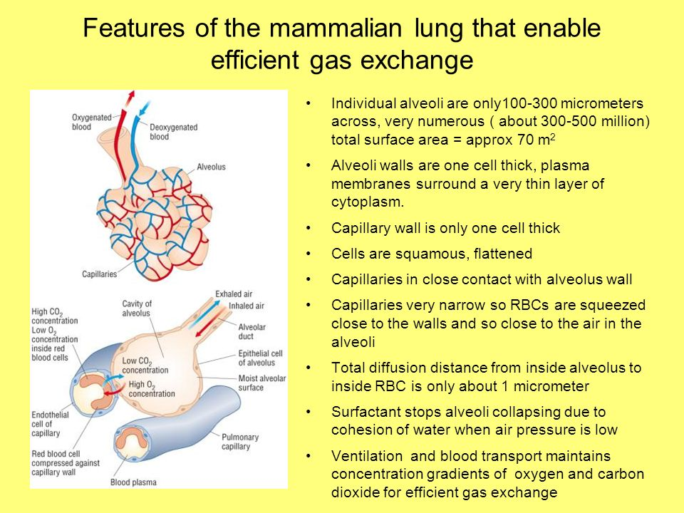 Features of the mammalian lung that enable efficient gas exchange Individual alveoli are only100-300 micrometers across, very numerous ( about 300-500