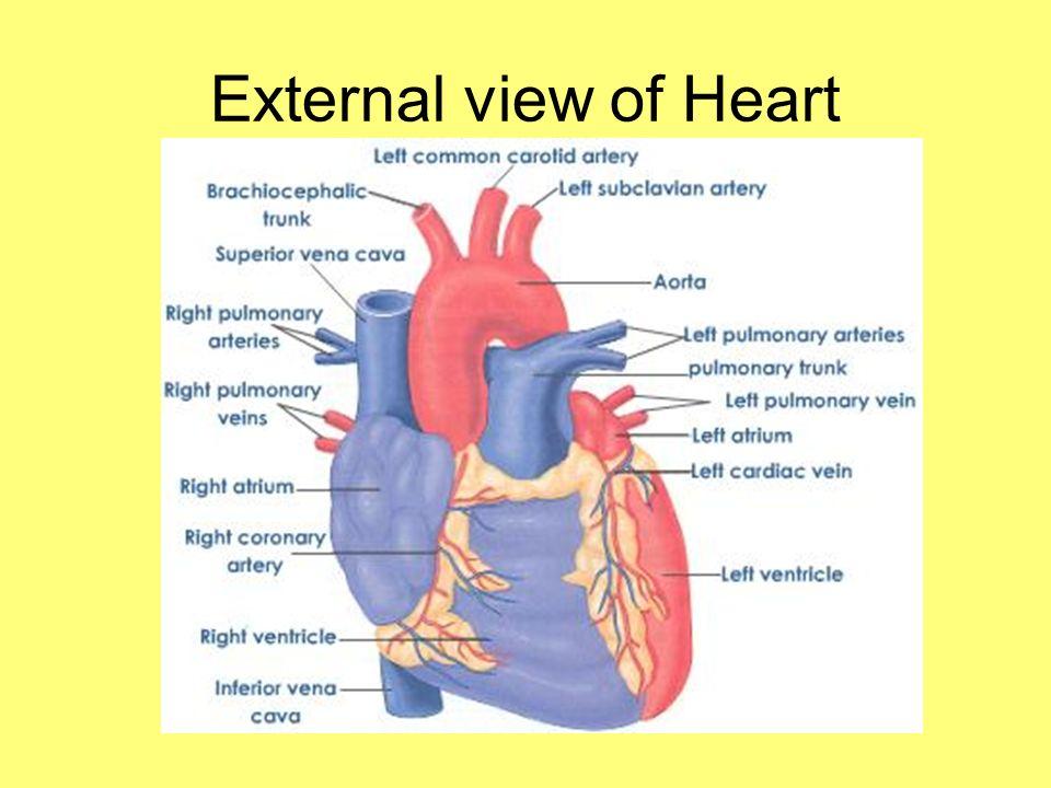 External view of Heart